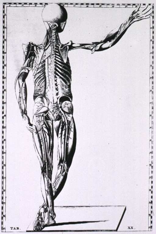 <p>Full length rear view of a human body with detail of the skeleton, musculature, and major blood vessels.</p>