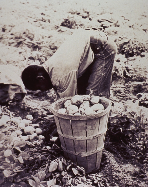 <p>A young migrant worker digs potatoes in a field in North Carolina.</p>