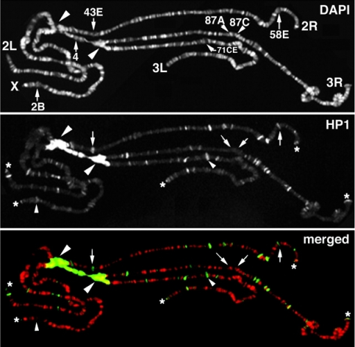 Immunolocalization of HP1 on polytene chromosomes. The DAPI staining pattern and the HP1 immunopattern are shown in the top and middle panels, respectively. In the bottom panel, the merged patterns is shown. Intense signals are visible on the chromocenter (large arrowheads) and numerous signals are present along euchromatic arms and at all the telomeres (asterisks). Interestingly, the antibody also decorates several developmentally regulated puffs (arrows) including the ecdysone-induced puffs (small arrowheads). Note the absence of immunosignal in regions containing heat shock–inducing puffs (arrows in 87A and 87C).