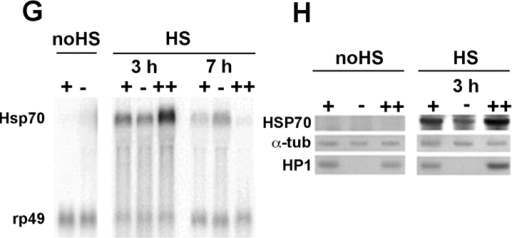 HP1 mutations do not affect the formation of puffs and HSF and POLII binding after heat shock treatment. (A) HSF and (B) POLII binding heat shock– induced puffs in polytene chromosomes of wild-type larvae. C and D show that in HP1 mutant larvae, the heat shock treatment induces puffs along with (C) HSF and (D) POLII binding. E and F show an immunostaining with HSP70 antibodies of whole salivary glands from untreated (E) and heat shock–treated (F) HP1 mutant larvae. Note the absence of any immunosignal in (E) untreated nuclei and the accumulation of the HSP70 in (F) heat shock–treated nuclei. (G) Northern blot analysis of Hsp70 transcripts in different times after heat shock induction in wild-type larvae (+), HP1 mutant larvae (−), and wild-type larvae carrying a heat shock–inducible Su(var)2-5 transgene (++). Hsp70 transcripts are not detectable in wild-type and HP1 mutant untreated larvae. 3 h after heat shock induction, HP1 mutants and transgenic larvae show smaller and larger amounts of Hsp70 transcripts, respectively, compared with levels in wild-type larvae. At 7 h, an inverse situation is present. Compared with the controls, mutant and transgenic larvae show larger and smaller amounts of Hsp70 transcripts, respectively. (H) Western blot analysis of HSP70 and HP1 proteins in untreated and heat shock–treated wild-type larvae (+), HP1 mutant larvae (−), and wild-type larvae carrying the heat shock– inducible Su(var)2-5 transgene (++). As expected, in untreated larvae, HSP70 is absent, whereas 3 h after the heat shock treatment, in mutant and transgenic larvae, the protein is, respectively, less and more abundant than in wild-type. The differential abundance of HSP70 is clearly correlated to the absence and the overexpression of HP1. Note that in wild-type larvae, the quantity of HP1 is not affected by the heat shock treatment. The rp49 transcripts and the α-tubulin protein were used as a control.