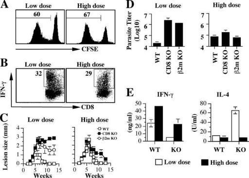 CD8+ T cells are required for downmodulation of low dose–induced Th2 responses and susceptibility to L. major. (A and B) L. major infection induces proliferation and IFN-γ production by CD8+ T cells in B6 (WT) mice. The dLN cells from B6 mice infected with low and high dose L. major for 3 wk were labeled with CFSE, stimulated with SLA for 5 d, and stained for intracellular IFN-γ. (A) Proliferation (gated on live CD8+ cells) and (B) IFN-γ production by CD8+ T cells was analyzed by flow cytometry. (C and D) CD8+ T cells are required for resistance to low dose, but are dispensable for high dose L. major infection. Course of lesion progression (C) and parasite burden (D) in the ear of WT, CD8, and β2m-deficient mice infected with low and high dose L. major. (E) In the absence of CD8+ T cells, the low dose–induced Th2 response is sustained. CD8-deficient mice infected with low and high doses of L. major were killed at 13 wk, the dLN cells were stimulated with SLA for 3 d, and the production of IFN-γ and IL-4 was measured by ELISA. Representative data from three experiments with similar results are presented.