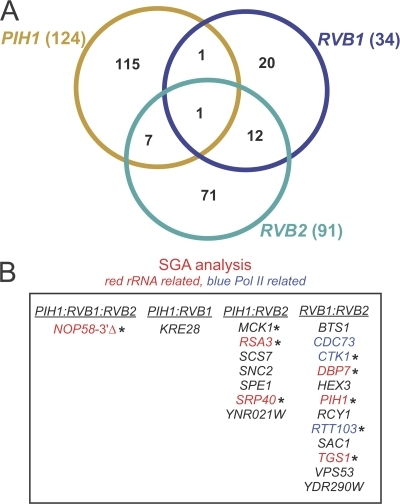 SGA analysis of pih1Δ, rvb1-DAmP, and rvb2-DAmP strains. (A) Venn diagram showing the overlap in the hits obtained from the SGA analysis of pih1Δ, rvb1-DAmP, and rvb2-DAmP strains. (B) Common genetic interactors of PIH1, RVB1, and RVB2 are listed. Hits that were verified by random spore analysis are indicated by asterisks. Note that PIH1:RVB2, for example, means the hits that overlap between PIH1 and RVB2 only and not with RVB1.
