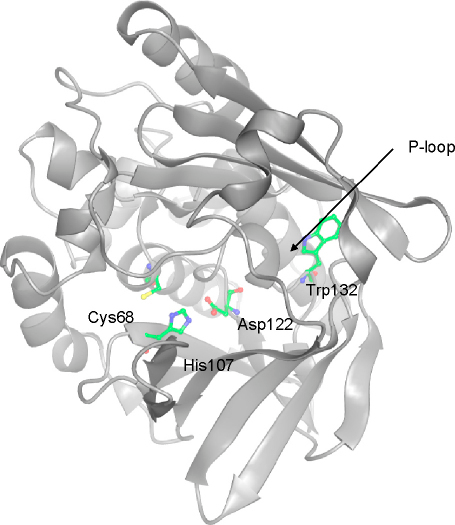 The mouse Nat2 homology model, based on the crystal structure of human NAT1, showing the position of Trp132 relative to the active-site triad (shown in ball and stick representation). The putative phosphate-binding P-loop is shown.