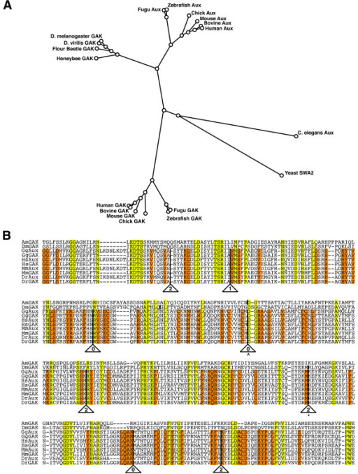 zGAK and zAux arose from gene duplication. (A) A phylogenetic analysis of the amino acid sequences of auxilins and GAKs without their kinase domains. The alignment was performed using Geneious software (Biomatters). (B) Alignment of intron positions in the PTEN region of auxilin and GAK orthologs. The residues shared by all are shaded in yellow and the residues conserved in mammals and vertebrates are shaded in orange. The presence of an intron is indicated by a solid line, and the phase is indicated by a number inside the triangle. ^ indicates an intron that is conserved in honeybee but not in Drosophila, whereas * indicates an intron that is conserved in fly but not in honeybee. Am: Apis mellifera, Dm: Drosophila melanogaster, Gg: Gallus gallus, Hs: Homo sapiens, Mm: Mus musculus, and Dr: Danio rerio.