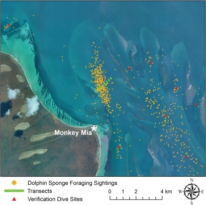 Sponging Map.Boat launch site (Monkey Mia), dolphin sponge foraging sightings, transects, and verification dive sites in Shark Bay, Western Australia.