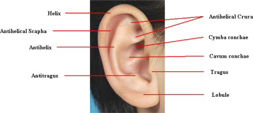 Anatomy of the auricle | Open-i