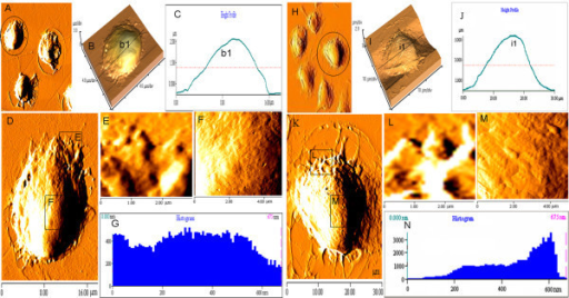 Nanostructure on the surface of immature and mature BMDCs. (A-N) AFM was adopted to determine nanostructures of the immature BMDCs treated with 10.0 μg/L of GM-CSF plus 10.0 μg/L of IL-4 (A-G) or the mature BMDCs stimulated with 1.0 mg/L of LPS (H-N), and to make quantitatively analysis for them; A and H, multiple immature BMDCs (A) or mature BMDCs (H) at lower resolution; B and I, three-dimensional images respectively from the black line-circled cells on A and H images; C and J, height profiles alone the black lines (b1 and i1) drawn across the cells on B and I images, respectively; D and K, single immature BMDC in scanning area of 18 × 18 μm (D) or single mature BMDC in scanning area of 30 × 30 μm (K) respectively from the black line-circled cells on A and H images; E and L, Enlarged view of the protrusion or pseudopodia on the edge of the immature BMDCs (E) in the scanning size of 3 × 3 μm and the mature BMDCs (L) in the scanning size of 3 × 3 μm; F and M, Enlarged view of the center of the immature BMDCs (F) and the mature BMDCs (M) in the same scanning area of 5 × 5 μm; G and N, histograms of the particles of the immature BMDCs (G) and the mature BMDCs (N).