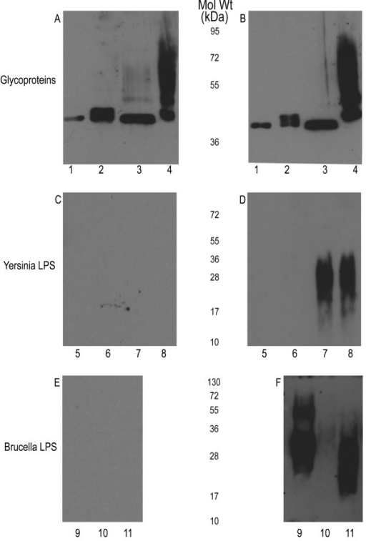 Sera of BALB/c mice immunized with bioconjugate shows a directed IgG immune response against N-formylperosamine of Y. enterocolitica O:9 and Brucella spp. A) Control sera and B) Immune sera raised by injecting purified glycoproteins containing 3 μg glycan: 1) Unglycosylated AcrA, 2) HP-, 3) OC-, 4) WT. Both sets of sera react with each glycoprotein due to the high immunostimulatory characteristic of AcrA. C) Control sera and D); immune serum (IgG response) blotted against Y. enterocolitica 0:9 LPS from different strains from Figure 1. 5) OC-/HP-, 6) HP-, 7) OC-, 8) WT. Only the test serum was reactive against the higher molecular weight portion corresponding to the homopolymer of N-formylperosamine. E) Control sera and F) immune serum blotted against Brucella spp. LPSs: 9) B. abortus, 10) B. melitensis, and 11) B. suis. Only the immune sera are reactive against the Brucella LPS. Interestingly, although each LPS is comprised of N-formylperosamine, different linkages are present which may cause the difference in reactivity of the sera.