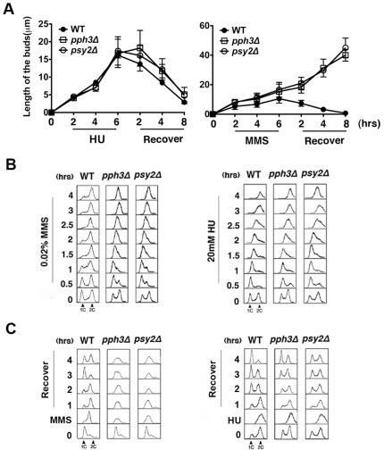 pph3Δ and psy2Δ cells exhibit pseudohyphal growth and cell cycle arrest when treated with MMS or HU.Fig 1A. Wild-type (SC5314 or BWP17), pph3Δ (SJL3) and psy2Δ (SJL6) cells were grown in liquid YPD medium supplemented with 0.02% MMS or 20 mM HU at 30°C for 6 h, washed with fresh YPD and resuspended into fresh YPD for further growth at 30°C for 8 h. Bud length was measured using ImageJ (http://rsbweb.nih.gov/ij/index.html). Each data point represents the average of 30 cells measured in 3 independent experiments. Fig 1B. The same cells as used in (A) were treated with 0.02% MMS or 20 mM HU. Cells were harvested at indicated time intervals for flow cytometry analysis. Fig 1C. The same cells as used in (A) were treated with 0.02% MMS or 20 mM HU at 30°C for 6 h and recovered in fresh YPD as described in (A). Cells were harvested at indicated time intervals for flow cytometry analysis.