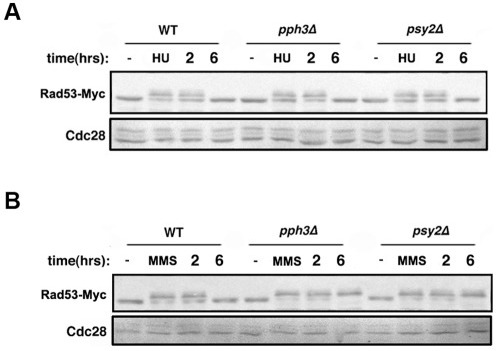 Rad53 undergoes hyperphosphorylation in response to HU and MMS.Fig 2A. Rad53 hyperphosphorylation in HU-treated cells. SJL9 (wild type with RAD53-Myc), SJL7 (pph3Δ RAD53-Myc), and SJL8 (psy2Δ RAD53-Myc) cells were incubated at 30°C in YPD containing 20 mM HU for 4 h. Cells were then washed and recovered with fresh YPD for the indicated times. Whole cell lysates were used for immunoblot analysis with anti-Myc antibody. Untreated cells were used as control. Cdc28 was probed with anti-PSTAIRE antibody as loading control. Fig 2B. Rad53 hyperphosphorylation in MMS-treated cells. SJL9 (wild type with RAD53-Myc), SJL7 (pph3Δ RAD53-Myc), and SJL8 (psy2Δ RAD53-Myc) cells were incubated at 30°C in YPD containing 0.02% MMS for 4 h. Cells were then washed and recovered with fresh YPD for the indicated times. Whole cell lysates were used for immunoblot analysis with anti-Myc antibody. Untreated cells were used as control. Cdc28 was probed with anti-PSTAIRE antibody as loading control.