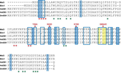 Sequence Alignment of the CH Domains of EBs, Related to Figure 4Conserved residues (highlighted in blue; and in yellow for the β-tubulin H3 helix contacts) correlate well with the microtubule-binding interface (blue frames, Mal3 CH domain residues found to be <5 Å away from tubulin residues in the pseudoatomic model). Mutations are indicated by asterisks above (this study) or under (previous study; Slep and Vale, 2007) the alignment with the colors indicating disruption of end tracking (red) or no influence on end tracking (green).