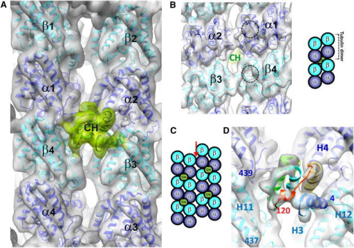 A Pseudoatomic Model of the EB Microtubule-Binding Site(A) 8.6 Å reconstruction of the Mal3143-microtubule interface docked with atomic structures of tubulin (Fourniol et al., 2010) (cryo-EM map, gray surface; 2XRP.pdb; α in blue, β in cyan ribbons) and with a homology model of the Mal3 CH domain (see Experimental Procedures; Slep and Vale, 2007) (map, green surface; Mal3 CH atomic model, green ribbons).(B) Lumenal surface of the reconstruction shown in (A). Dotted circles highlight a region where tubulin monomers clearly differ in the EM map, delineated by the M loop, H6-H7 loop, and helix H7: the EM maps show an empty taxol-binding pocket in β-tubulin (Nogales et al., 1999), whereas an extra density is seen in α-tubulin, which corresponds to an insertion in loop S8-S9 specific to α-tubulin. This enables unambiguous assignment of the α- and β- tubulin densities. A schematic of this lumenal view shows the localization of Mal3 CH domain at the corner of four tubulin heterodimers.(C) Schematic view of the outer microtubule surface illustrating that the Mal3-binding interface does not exist at the seam (red arrow).(D) Close-up of the interface (map rendered at a higher threshold compared with B, gray surface; Mal3 CH model, rainbow-colored ribbons). The residue number of the boundaries of the Mal3 CH domain and the C termini of α- and β-tubulin are labeled, as are tubulin helices α2-H4, β3-H3, β3-H12, and β4-H11.See also Figure S2 and Movie S1.