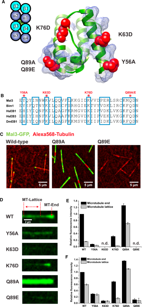 Validation of EB-Tubulin Contact Sites using Reconstituted Dynamic Microtubule-End Tracking(A) Localization of single mutated residues on the Mal3 microtubule-binding surface: residues chosen for mutations (red) in the context of all Mal3 residues within 5 Å of tubulin (rendered as a blue mesh).(B) Extract of a sequence alignment of different EBs: Mal3 residues contacting the microtubule (blue boxes) and residues that were mutated in this study (red asterisks).(C) TIRF microscopy images of Alexa 568-labeled microtubules (red) grown in the presence of GTP and wild-type (WT) or mutant Mal3-GFP (green) as indicated.(D) TIRF microscopy images illustrating the differences between the Mal3-GFP fluorescence signal (green) for WT and the different mutants on single microtubules. Imaging conditions and display settings are identical for all six experiments. The regions used to measure Mal3-GFP intensity at the microtubule end and on the lattice are indicated by red lines.(E and F) Quantification of Mal3-GFP intensities at the microtubule ends and on the lattice. Error bars represent standard error of the mean (SEM). (E) Mean intensities relative to the mean WT intensity at growing microtubule ends are shown. Concentrations were 30 nM Mal3-GFP, 22 μM tubulin, and 1 mM GTP. (F) Same as (E) with 300 nM Mal3-GFP.See also Figure S4 and Movie S2.