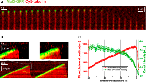 The EB Binding Region Disappears before Catastrophe Occurs(A) Time series of Mal3-GFP on a microtubule grown in GTP, imaged by TIRF microscopy. The image sequence depicts a typical fluorescence time course of Mal3-GFP at a microtubule end at the transition from growth to shrinkage. Mal3-GFP is shown in green, Cy5-labeled microtubules in red.(B) Kymograph of one microtubule showing two consecutive growth and catastrophe episodes. Color code is as in (A). The periods directly before and after a catastrophe are magnified in the insets.(C) Plot of the averaged normalized Mal3-GFP comet intensity (green) and the averaged relative microtubule-end position (red) as a function of time prior to catastrophe (average of 62 catastrophe events). The error bars are SEM; Mal3-GFP concentration was 60 nM. For details, see the Experimental Procedures.