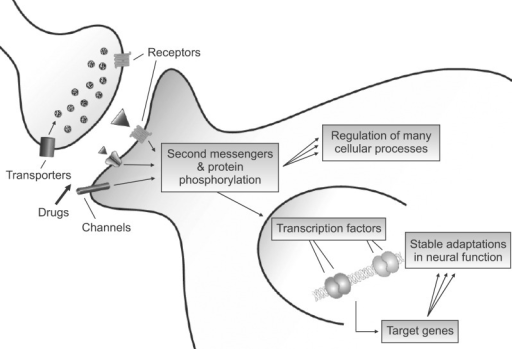 Transcriptional actions of drugs of abuse. Although drugs of abuse act initially on their immediate protein targets at the synapse, their long-term functional effects are mediated in part via regulation of downstream signaling pathways which convertge on the cell nucleus. Here, drug regulation of transfactors leads to the stable regulation of specific target genes and to the lasting behavioral abnormalities that characterize addiction.