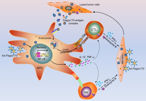 Figure 1. The immunomodulating effects of a multifunctional chimeric chaperone in the tumor microenvironment. Flagrp170 produced by tumor cells delivers tumor-associated antigens to antigen-presenting cells (e.g., DCs) for efficient cross-presentation and T-cell priming. The NFκB signaling pathway is triggered in DCs upon infection with Flagrp170-encoding adenoviruses as well as by extracellular Flagrp170, resulting in their functional activation. The upregulation of co-stimulatory molecules and the production of inflammatory cytokines (e.g., interleukin-12, IL-12) promote the effector functions of natural killer (NK) cells and cytotoxic T lymphocytes (CTLs). These cells, possibly via interferon γ (IFNγ) and granzyme B, kill malignant cells, hence causing the release of Flagrp170-tumor antigen complexes that may further amplify T-cell antitumor responses.