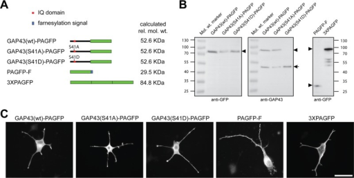Expression of PAGFP-tagged GAP43 constructs in neuronally differentiated PC12 cells. (A) Schematic representation of the PAGFP-tagged GAP43 constructs. PAGFP with a farnesylation signal (PAGFP-F) and 3×PAGFP were prepared as reference constructs. PAGFP is indicated as a green box, the IQ domain (position 30–52 in rat GAP43) containing the phosphorylation site (Ser-41) as a red box, and the farnesylation signal, which directs lipidation of PAGFP-F, as a blue box. Right, calculated relative molecular weights. (B) Immunoblots of lysates of transfected PC12 cells expressing the respective constructs. Blots were developed using anti-GFP (left and right) and anti-GAP43 antibody (middle). GFP-tagged constructs are indicated by arrowheads, endogenous GAP43 by an arrow. The phosphomimicking GAP43 construct is not recognized by the anti-GAP43 antibody (JP91), suggesting that mutation of Ser-41 to Asp blocks binding of the antibody. Numbers to the sides of the blots indicate molecular mass standards in kilodaltons. (C) Fluorescence micrographs of PC12 cells transfected with the respective GAP43 constructs and controls. Cells were treated with NGF for 6 d. Exogenous proteins were detected using anti-GFP antibody. Note the enrichment of the GAP43 constructs in the tip of the processes. Scale bar, 50 μm.