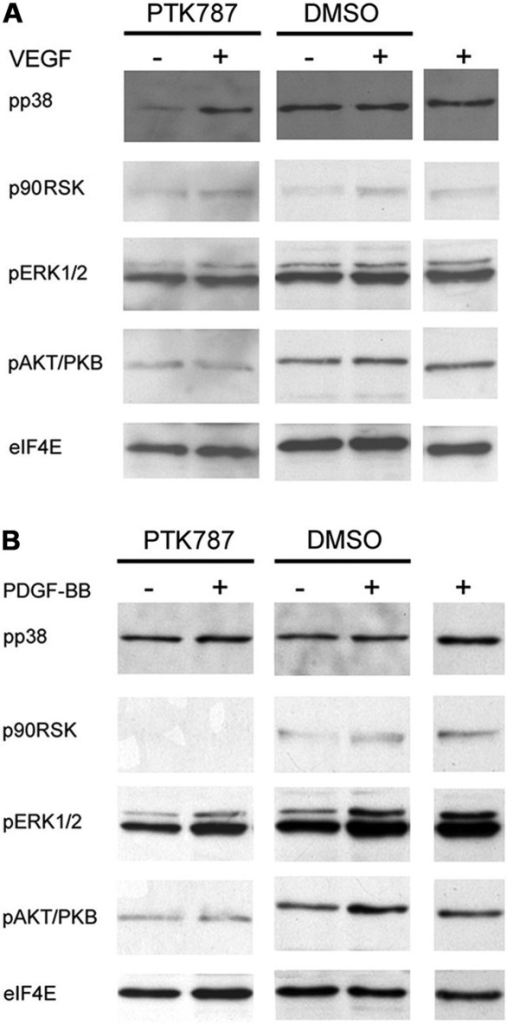 PTK787/ZK222584 (PTK787)-caused effects on signalling cascades (A) in vascular endothelial growth factor (VEGF)-A- and (B) platelet-derived growth factor (PDGF)-BB-treated cells. eIF4E was used as loading control. (A) Activation of signalling cascades is not affected by VEGF-A and/or PTK787 treatment. (B) PTK787 inhibited basal and PDGF-BB-caused ERK1/2, AKT/PKB- and p90RSK-phosphorylation. p, phospho.