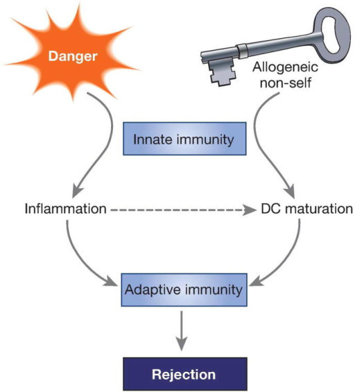Innate allorecognition and danger link innate to adaptive immunity after transplantationRecognition of allogeneic non-self by recipient monocytes is key for generating mature DC that drive graft rejection by T lymphocytes. Danger, which causes inflammation in the graft but is not sufficient for driving rejection, is nevertheless essential for potentiating the adaptive alloimmune response.