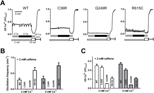 Caffeine-induced Ca2+ oscillations by monitoring ER Ca2+.ER Ca2+ of HEK293 cells expressing WT or mutant RyR1 channels (C36R, G249R and R615C) was monitored with R-CEPIA1er as described in Fig 2. A. Typical traces for ER Ca2+ signals. Cells were incubated for 2 min with normal Krebs solution containing 2 mM Ca2+ and 2 mM caffeine (grey bar). Ca2+ in Krebs solution was then increased to 5 mM (black bars). After depletion of Ca2+ by 30 mM caffeine, Fmax for indicators was determined by the application of 20 μM ionomycin and 20 mM Ca2+. B. Ca2+ oscillation frequencies determined with normal (2 mM Ca2+) and 5 mM Ca2+ Krebs in the presence of 2 mM caffeine. C. Caffeine-induced Ca2+ oscillations by monitoring ER Ca2+. ER [Ca2+]ER levels in normal and 5 mM Ca2+ Krebs solution with 2 mM caffeine. For WT and R615C, upper levels during Ca2+ oscillations (threshold levels for Ca2+ release) were measured.