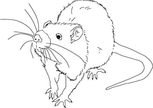 Freezing in a rat. The rat is stopped in midmovement. Despite being immobilized, the rat remains alert; it continues to scan the environment; and its body is tense and poised for action. Its ears are flattened. If the predator attacks, freezing will give way to flight, and the rat will attempt to dart away to safety.