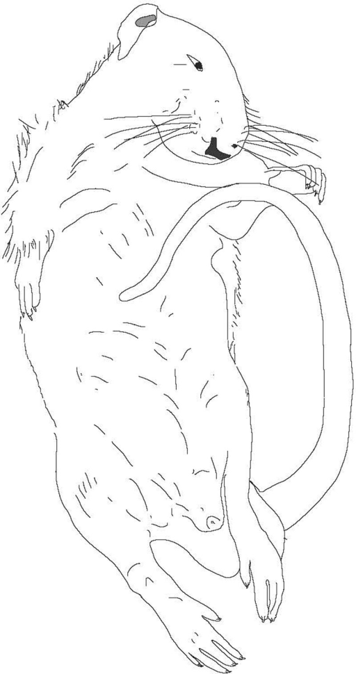 Tonic immobility in a rat. The trunk and limbs are rigid and may be held in unusual or awkward postures. The body can often be manipulated (waxy flexibility). The eyes may be closed or open. If the latter, the rat will have a glassy, unfocused gaze. Because the animal has the appearance of being dead, tonic immobility is also known, following Darwin's terminology, as feigning death.87