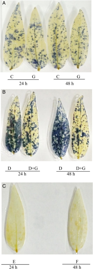 (A and B) Histochemical localization of  in leaves of mung bean seedlings. Here C, G, D and D + G indicate control, exogenous glutathione (GSH, 1 mM), drought stress (−0.7 MPa) and drought stress (−0.7 MPa) + exogenous glutathione (GSH, 1 mM), respectively. (C) Histochemical localization of  in leaves of drought-treated plants stained in 10 mM MnCl2 where E and F indicate 24 and 48 h drought (control) treatment, respectively.