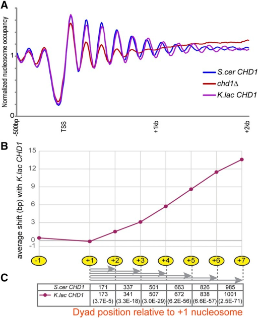 The K. lactis CHD1 ortholog can direct longer average linkers in S. cerevisiae. (A) Nucleosome mapping for chd1Δ and CHD1 swap strains, as in Figure 1. (B) Quantitation of the shift in average nucleosome position for CHD1 swap strains. Nucleosome positions were called as in Weiner et al. (2010), and the average distance between nucleosomes in the K. lactis swap strain and the same nucleosomes in the strain with S. cerevisiae CHD1 is plotted for nucleosome positions −1 to +7. (C) Distance of each coding region nucleosome from the +1 nucleosome, for the S. cer and K. lac CHD1-containing strains, with corresponding p-values (paired, two-tailed t-test) shown in parentheses at the bottom.