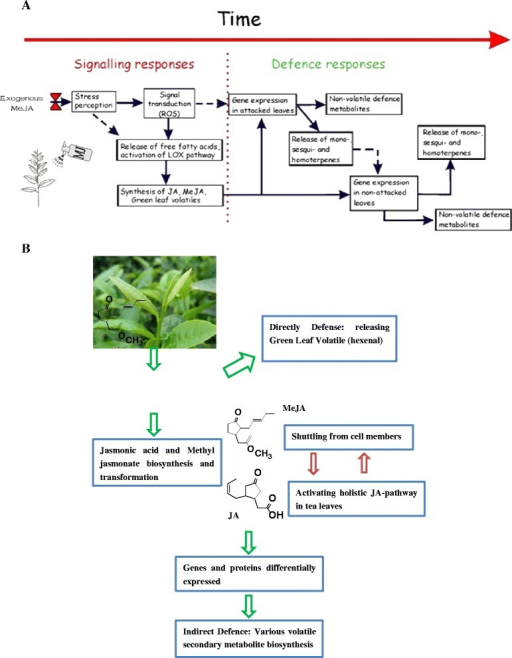 Biology response to of time-dependent methyl jasmonate treatment in tea leaves. a. exogenous methyl jasmonate could lead to a rapid, within minutes, oxidative burst and release of free fatty acids and further cascade of events includes activation of defense gene expression that leads to synthesis of a variety of volatile isoprenoids and also production of non-volatile defense compounds such as polyphenols. b. The octadecanoid signaling pathway for some gene expression in tea leaves: Exogenous MeJA could in a great degree lead to the activation of lipoxygenase pathway that results in release of green leaf volatiles (a variety of C6 aldehydes) and synthesis of jasmonate and methyl jasmonate which could further elicit the JA pathway in the whole tea plant