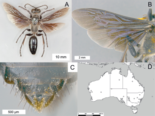 Sphexfumipennis. A ♀, habitus B ♂, wings C ♂, metasomal sterna V–VIII, ventral view D geographic distribution.