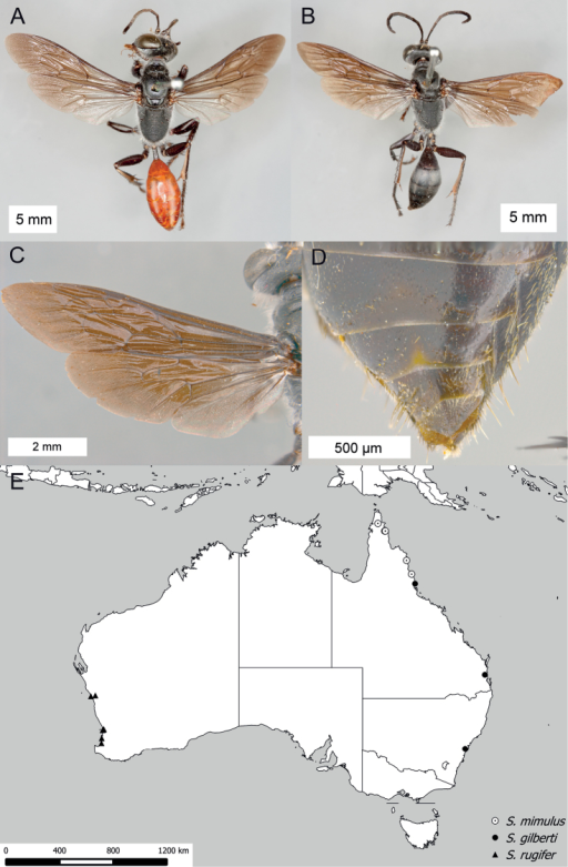 Sphexrugifer. A ♀, habitus B ♂, habitus C ♂, wings D ♂, ventral view of metasomal sterna V–VIII E collecting localities; those of Sphexmimulus and Sphexgilberti are also shown.