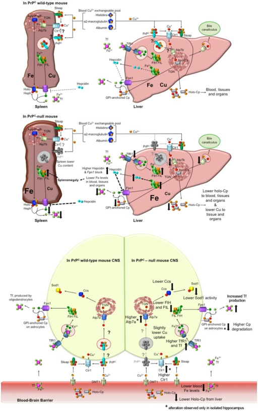 Proposed model for PrPC role in copper and iron homeostasis. Wild-type PrPC mouse. In both liver and spleen, PrPC may bind Cu2+ released from the blood Cu2+ exchangeable pool, reduce to Cu+ and pass it to Ctr1 for its uptake, or may function itself as a transporter by internalization. Therefore, in the liver, PrPC may be involved in the transport of copper to the TGN where Atp7b load it on Cp. Hence, holo-Cp can be released in the serum or GPI-anchored on hepatocytes, thus mediating iron export through its copper-dependent ferroxidase activity. PrPC- mice. In the absence of PrPC, liver copper uptake is affected, hence the formation of holo-Cp is diminished. Consequently, iron is accumulated in the liver, TfR1 level is decreased, while FtH and FtL levels are increased. Therefore, hepcidin secretion is enhanced, with ensuing block of Fpn1. In the spleen, the absence of PrPC induces a reduction in copper uptake that, together with hepcidin-mediated Fpn1 block, triggers iron accumulation, that, in turn, leads to splenomegaly. Liver and spleen iron accumulation results in decreased serum iron content. Wild-type PrPC CNS. PrPC may bind Cu2+ released from the blood Cu2+ exchangeable pool and reduce to Cu+, and pass it to Ctr1 for its uptake, or may function itself as a transporter by internalization. Therefore, PrPC may be involved in the intracellular transport of copper, and loading on Ccs. PrPC- mouse CNS. In PrPC- blood, iron and Cp-bound copper levels are decreased. Therefore, compensatory mechanism maintain physiological copper and iron levels. In both total brain and isolated hippocampus, Tf, TfR1, FtH, FtL are modulated in response to iron deficiency. Copper-binding protein Ctr1, Atp7a and Cp are modulated in the hippocampus, responding to copper deficiency. Ccs is decreased in PrPC- CNS, likely causing the decrease in Sod1 activity (Brown and Besinger, 1998; Kralovicova et al., 2009). All the alterations observed in PrPC- mouse have been reported as big arrows pointing up in case of increase, pointing down in case of decrease. In the CNS scheme, *flanking the arrow indicates an alteration observed only in the isolated hippocampus, but not in the total brain.