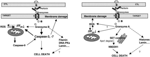 Model for apoptotic pathways activated by gzmB or gzmA during CTL-induced target cell death. Perf is central to all CTL-mediated and gzmA- and gzmB-dependent apoptotic processes. GzmA and gzmB are similarly able to induce PS exposure on plasma membrane (Membrane damage) and the mitochondrial pathway(s), including ΔΨm loss and ROS generation. Only gzmB but not gzmA activates both caspase 3 and 9. GzmB-dependent activation of caspase 9 requires previous activation of caspase 3 and induction of ROS, whereas activation of caspase 3 is amplified by caspase 9 and the mitochondrial pathway. Gzm-induced PS exposure is critically dependent on caspase activation when elicited by gzmB, but not gzmA, and dependent on ROS generation when elicited by gzmA, but not gzmB. GzmB induces the mitochondrial pathway (ΔΨm loss) both via caspase-dependent and -independent pathways, and this process seems to be amplified by ROS, whereas gzmA acts via a caspase-independent pathway also amplified by ROS. Ape-1, an oxidative protein relevant for DNA repair (Fan et al., 2003b), is readily cleaved in the presence of either gzmA or gzmB, but also occurs in the absence of both gzms. However, the latter perf-facilitated and gzm-independent process(es) does not lead to target cell death. Target cell death can also occur even when the caspase pathways or the generation of ROS is inhibited, suggesting alternative, undefined gzm-elicited death pathways.