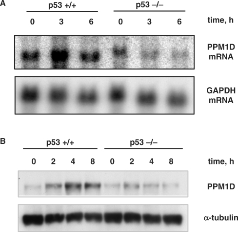 (A) Northern blot analysis of PPM1D expression in HCT116 p53+/+ and p53–/– cells following exposure to 6-Gy IR. (B) Immunoblot analysis of PPM1D protein levels in extracts from HCT116 p53+/+ and p53–/– cells at the indicated times following exposure to 10-Gy IR.