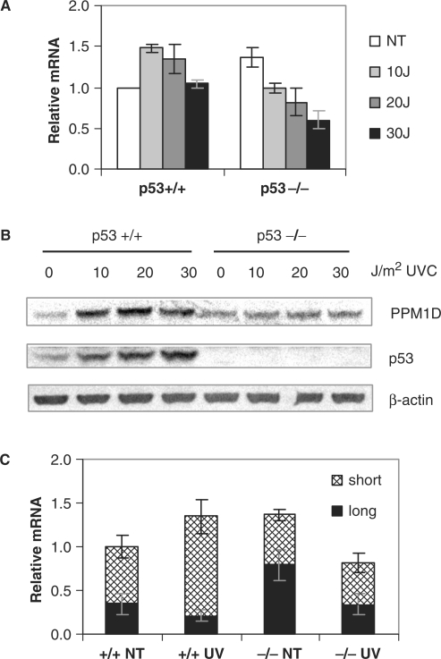 Effects of UV exposure on the PPM1D gene expression. (A) Effects of UV exposure on PPM1D mRNA levels. HCT116 p53+/+ or p53–/– cells were untreated (NT) or exposed to the indicated doses of UV and total RNA was extracted 4 h later. The relative levels of PPM1D mRNAs were determined by quantitative RT-PCR, normalized to β-actin mRNA levels and expressed as a ratio of the level in untreated p53+/+ cells. (B) Effects of UV exposure on PPM1D and p53 protein levels. HCT116 p53+/+ or p53–/– cells were untreated (NT) or exposed to the indicated doses of UV, cellular proteins were extracted 6 h later and specific proteins were detected by immunoblot. (C) Patterns of transcription initiation in the PPM1D promoter following exposure to UV. Total RNA was isolated from untreated cells or 4 h after exposure to 20 J/m2 UV. A quantitative PCR-based method was used to determine the relative abundances of PPM1D mRNAs with long 5′ UTRs compared to all PPM1D transcripts. The amount of PPM1D transcripts with short 5′ UTRs was determined by difference.