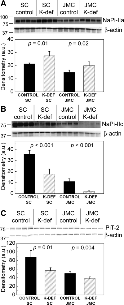 Both superficial cortex (SC) and juxtamedullary cortex (JMC) BBM show increased NaPi-IIa and decreased NaPi-IIc and PiT-2 abundance in K-deficient rats compared with control rats. SC and JMC BBM samples from 4 rats on a K-deficient diet and from 4 rats on a control diet were separated by SDS-PAGE and probed for NaPi-IIa and β-actin (A), NaPi-IIc and β-actin (B), and PiT-2 and β-actin (C). The bar graphs show average densitometry values ± SD. The experiment was repeated three times, and a representative Western blot and analysis is shown. au, Arbitrary units.