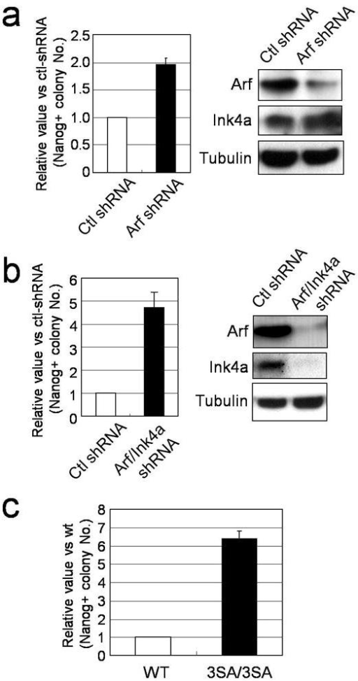 Modulation of p53 activity alters reprogramming efficiency(a) and (b) Fold change in the number of 3F induced Nanog-positive colonies by Arf shRNA or by Arf/Ink4a shRNA compared to control shRNA (n=3). Protein knockdown efficiency was examined by western blot. (c) 3F induced Nanog-positive colonies from wild type (+/+) and homozygous (3SA/3SA) MEFs (n=3).