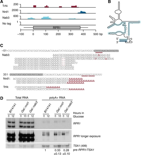 Pre-Rrp1 is polyadenylated and targeted by the surveillance machinery. (A) Densities of high-throughput sequencing reads mapped to pre-RPR1. (B) Two-dimensional structure of RPR1 according to Srisawat et al (2002). High-throughput sequencing reads mapped to RPR1 are highlighted. Trf4 crosslinks overlapped with Nab3 hits and have been omitted for clarity. (C) Alignment of high-throughput sequencing reads of RNAs in the indicated IP to pre-RPR1. Grey boxes mark the mature RPR1 sequence and numbering indicates the nucleotide position with respect to nucleotide +1 in the RPR1 gene. Mismatches and deletions in sequencing reads are displayed in red. Numbers in brackets indicate the frequency with which each specific sequence was recovered in reads per million mapped sequences. (D) Northern analyses of total and poly(A)+ RNA from GAL∷nrd1, GAL∷nab3 and BY4741 strains. Quantification of expression levels of polyadenylated pre-RPR1 relative to TSA1 mRNA is displayed. Ratio of expression after 12 h compared with 0 h is set to 1 for WT and given as average of three biological replicates with s.d.