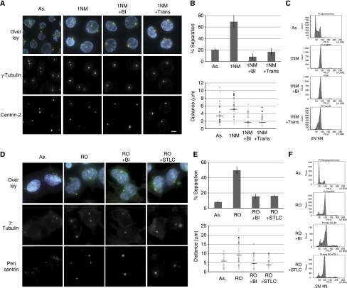 Cdk1-independent centrosome separation requires Plk1 and Eg5 activity. (A) DT40 cdk1as cells were analysed by immuno-fluorescence using anti-γ-tubulin and anti-centrin-2 antibodies and counterstained with DAPI. The panels display deconvolved maximum intensity projections (MIPs) of 3D images of representative samples (scale bar, 5 μm). Asynchronous cells are shown in the far left panel (As.). Cdk1 was inhibited by treating cells for 6 h with 10 μM 1NMPP1 (1NM). To inhibit Plk1, 100 nM of BI 2536 was added at the same time as 1NMPP1 (1NM+BI). To inhibit chicken Eg5, we added 33 μM trans-24 together with 1NMPP1 (1NM+Trans). (B) Quantitative analysis of centrosome separation using immuno-fluorescence and automated scanning microscope analysis (Olympus SCAN-R; see Material and methods). As., N=962; 1NM, N=1300; 1NM+BI, N=569; 1NM+Trans, N=638; error bars indicate the s.d. in three independent experiments. We scored centrosome distances in the same samples by analysing 3D images using IMARIS (N=50); distances above 0.5 μm were scored as separated; results from individual cells are plotted; the bars show the mean distances (As., 3.4 μm; 1NM, 5.25 μm; 1NM+BI, 1.8 μm; 1NM+Trans, 1.84 μm). (C) PI staining and FACS analysis of same samples as in (A). (D) HeLa cells were analysed by immuno-fluorescence using anti-γ-tubulin, anti-pericentrin antibodies and DAPI. The panels display deconvolved MIPs of 3D images of representative samples (scale bar, 10 μM). Asynchronous cells are shown in the far left panel (As.). Cdk1 was inhibited by treating cells for 20 h with 7.5 μM RO3306 (RO). To inhibit Plk1, 100 nM of BI 2536 was added at the same time as RO 3066 (RO+BI). To inhibit human Eg5, we added 5 μM STLC together with RO3306 (RO+STLC). (E) Quantitative analysis of 3D images (% separation As., N=524; RO, N=343; RO+BI, N=415; RO+STLC, N=380; error bars indicate the s.d. in three independent experiments). Distances were scored in 3D images using Imaris (N=50) as in (B); the bars indicate the mean distance; As., 5.7 μm; RO, 9.2 μm; RO+BI, 4.6 μm; RO+STLC, 4.1 μm. (F) FACS analysis of the indicated HeLa samples.