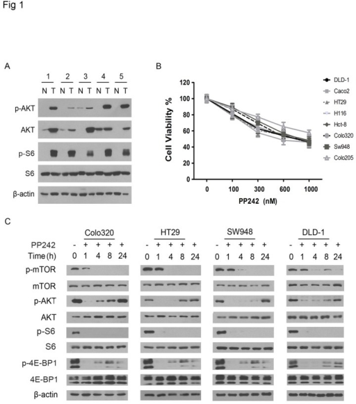 PP242 transiently inhibits mTORC2 activity in colorectal carcinoma cells.(A) Western blot analysis for the presence of phosphorylated (p-) and unphosphorylated AKT and S6 in matched colorectal carcinoma tumor (T) and adjacent normal colorectal tissues (N). β-actin was used as protein loading control. The numbers label the cases. (B) The colorectal carcinoma cell lines as indicated were treated with PP242 in the indicated concentrations and then subjected to cell viability assay. The experiment was repeated three times and the data presented as mean + SD (standard deviation). (C) Each of the cell lines as indicated to the top of the panel were untreated or treated with PP242 (1 μM) for the indicated hours and then examined by western blotting using antibodies against the phosphorylated (p-) and unphosphorylated proteins as indicated to the left of the panel.