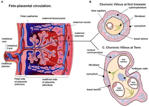 Schematic Representation Of A Human Placenta A A Rep Open I