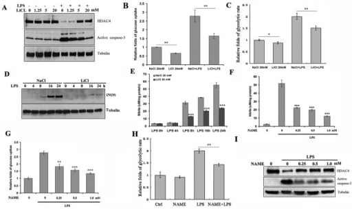 GSK3β activated LPS-induced glycolysis and HDAC4 degradation through NO. (A) BV2 cells were treated with a GSK3β inhibitor LiCl at indicated concentrations alone or with LPS (1 μg/ml) for 24 h. The levels of active caspase-3 and HDAC4 were determined by immunoblotting. LiCl markedly abolished LPS-induced caspase-3 activation and HDAC4 degradation. (B, C) BV2 cells were treated with LiCl (20 mM) and LPS alone or in combination as indicated. Glucose uptake assay was performed after 24 h of LPS treatment. LiCl markedly blunted LPS-induced glucose uptake and glycolysis, respectively (*p < 0.05 and **p < 0.01 vs. only LPS treatment). (D, E) BV2 cells were cotreated with LiCl (20 mM) and LPS for indicated times. iNOS protein expression and NO production were determined. LiCl strongly inhibited LPS-induced iNOS protein expression and NO production (***p < 0.001 vs. only LPS treatment). (F) BV2 cells were treated with indicated concentrations of an iNOS inhibitor, NAME, and LPS. Production of NO was strongly inhibited by NAME in a dose-dependent manner (***p < 0.001 vs. only LPS treatment). (G, H) BV2 cells were pretreated with indicated concentrations of an iNOS inhibitor, NAME, for 4 h, followed by LPS treatment for another 24 h. NAME pretreatment inhibited LPS-induced glucose uptake and glycolysis. (I) NAME pretreatment abolished LPS-induced caspase-3 activation and HDAC4 degradation (***p < 0.001 vs. only LPS treatment).