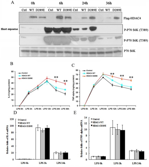 Caspase-resistant HDAC4 mutant extends the duration of inflammatory cytokine production. (A) FLAG-tagged wild-type (WT) and D289E mutant HDAC4 were transfected into BV2 cells by electroporation, followed by LPS treatment for 36 h. The ectopic HDAC4 was detected by an FLAG antibody. Note that caspase-3–resistant mutant HDAC4 (D289E) is resistant to LPS-induced degradation and caused elevated p70 S6K (T389) phosphorylation at 24 and 36 h after LPS treatment. (B, C) Media from WT and D289E mutant HDAC4–expressing BV2 cells were analyzed for secreted IL-6 (B) and TNF-α (C) by ELISA at indicated time points after LPS treatment. Note that both IL-6 and TNF-α levels were markedly higher in D289E mutant HDAC4–expressing BV2 cells than in control and WT HDAC4–expressing cells at later but not early time points (**p < 0.01 vs. HDAC4 WT). (D, E) Real-time PCR showed that mRNA expression of IL-6 and TNF-α was not affected by overexpressing caspase-3–resistant HDAC4 (D289E).