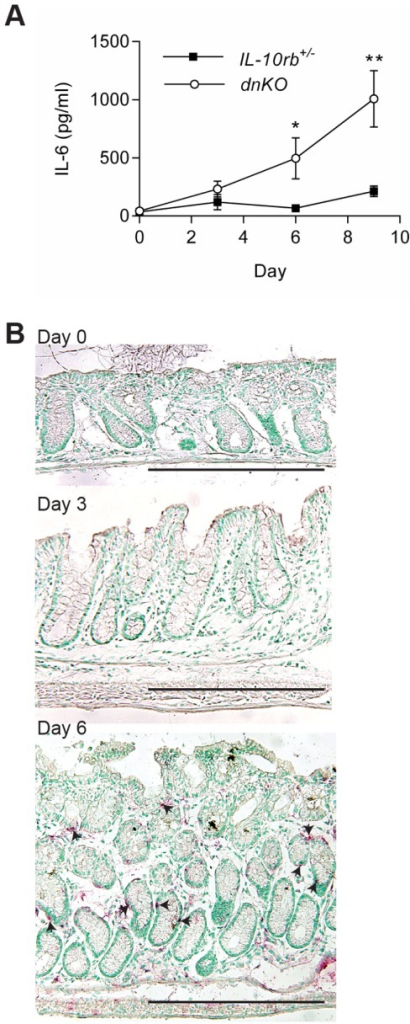 IL-6 was induced with the initiation of colitis in dnKO mice.Antibiotic pretreated dnKO and IL-10rb+/- littermate control mice were co-housed with non-antibiotic treated mice to induce colitis in dnKO mice. From individual mice, colons and sera were harvested with no co-housing (baseline, day zero) and every three days after co-housing. IL-6 mRNA and protein expression was analyzed by ELISA (A) and in situ hybridization (B), respectively. Two experiments were performed with a total of 10–14 mice/group/time point. (A) Plot of the average ± SEM IL-6 protein (pg/ml) in the sera over time for each group of mice. A student's t-test was used to determine statistical significance for each time point; *, p<0.05; **, p<0.0001. (B) Representative images of IL-6 in situ hybridization (red staining, arrowheads) are shown for days 0, 3 and 6 post co-housing. Bars = 500 µm.