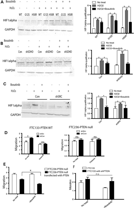 HIF-1α was stabilized with H2O2 treatment and inhibited by SRC inhibitor bosutinib in FTC133-PTEN wild-type cells. (A) Western blot of HIF-1α expression in SDHD-wild type, -G12S or -H50R transfected into FTC133-PTEN wild-type cells, with or without H2O2, with or without bosutinib. The bar graph summarizes the relative expression of three independent experiments. (B) HIF-1α expression in FTC133-PTEN wild-type cells after shSDHD transfection or shCON control-transfection with or without H2O2, with or without bosutinib. The bar graph summarizes the relative expression of three independent experiments. (C) HIF-1α expression in FTC133-PTEN wild-type cells transfected with shSRC or shCON control construct, with or without H2O2, with or without bosutinib. The bar graph summarizes the relative expression of two independent experiments. (D) Wound healing migration rates with or without HIF-1 inhibitor chetomin pretreatment in FTC133-PTEN wild-type cells (left) and in FTC236-PTEN  cells (right). The results are the mean ± SE of two independent experiments with n = 4 in each condition. (E) Wound healing migration rates in wild-type PTEN transfected FTC236-PTEN  cells with or without bosutinib. The results are the mean ± SE of three independent experiments with n = 3 in each condition. (F) Wound healing migration rates in PTEN knockout FTC133-PTEN wild-type cells with or without bosutinib. The results are the mean ± SE of two repeated experiments with n = 3 in each condition. *P < 0.05.