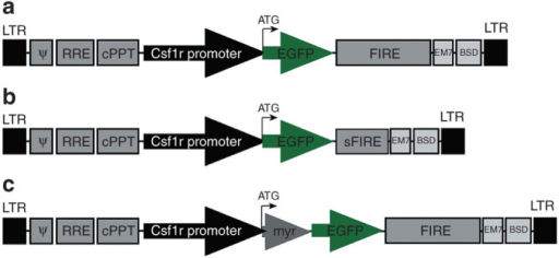 Csf1r:EGFP lentiviral constructs. Schematic of murine Csf1r:EGFP constructs. All constructs contained a blasticidin-resistance gene (BSD) driven by the EM7/SV40 promoter. (a) Csf1r:EGFP-FIRE (b) Csf1r:EGFP-sFIRE (c) Csf1r:myr:EGFP-FIRE. cPPT, central polypurine tract; FIRE, Fms-Intronic Regulatory Element; ψ, HIV-1 packaging signal; LTR, long terminal repeat; RRE, rev response elements; sFIRE, short FIRE; myr, myristoylated motif.