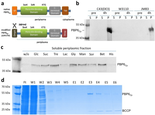 Application of the co-solvent assisted method to PBP6Cp.(a) Structure of PBP6Cp. Domains, motifs, signal peptides (SP), transmembrane domains (TM), leader peptide sequence for transportation into the periplasm (OmpA) and chromatography affinity tag (Strep) are depicted (SP and TM were predicted by Signal P and TMHMM [30,31]. The modified PBP6Cp (42.95 kDa) which lacks the native SP and TM domain was overproduced, purified and tested for DD-carboxypeptidase activity. (b) Results from overexpression pretest (western blot), (c) co-solvent screen western blot), and (d) betaine-assisted purification (Coomassie stain) of PBP6Cp. The optimal expression conditions (E. coli C43(DE3), 4h of induction at 25°C) and co-solvent (betaine) determined in the overexpression pretest and co-solvent screen, respectively, were used in an up-scaled culture to overproduce soluble PBP6Cp for the first time. Pre: pre induction, S: soluble fraction, P: pellet fraction, w/o: without the addition of co-solvent, Glc: glucose, Suc: sucrose, Tre: trehalose, Lac: lactose, Gly: glycerol, Man: mannitol, Sor: sorbitol, Bet: betaine, His: histidine. BCCP (21.5kDa): biotin carboxyl carrier protein from E. coli, a common contamination of strep-tagged proteins (biotinylated protein binding to strep-tactin which can be removed by complexation with avidin from hen egg white [12]).