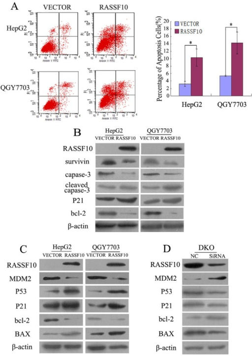 The role of RASSF10 in apoptosis and P53 signaling in human HCC cells(A) Flow cytometry results show the role of RASSF10 in apoptosis in HepG2 and QGY7703 cells. * P < 0.05. (B) Western blots show the effects of RASSF10 on survivin, capase-3, cleaved capase-3, P21 and bcl-2 expression in HepG2 and QGY7703 cells. β-actin: internal control. (C) Western blots demonstrate the role of RASSF10 in MDM2, P53, P21, bcl-2 and BAX expression in HepG2 and QGY7703 cells. β-actin: internal control. (D) The expression of MDM2, P53, P21, bcl-2 and BAX was detected by western blot after knocking down RASSF10 in DKO cells. β-actin: internal control.