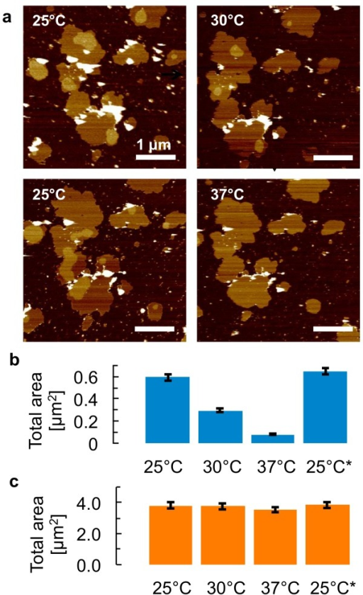 Reversible dissolution and formation of microdomains.a, AFM topography of isolated membrane samples in buffer solution, for a thermal cycle in which the temperature is first increased from 25°C to 30°C and then 37°C, followed by a decrease back to 25°C. Arrows indicate the sequence of the images. Vertical (color) scale for all AFM images: 9 nm, see also scale bar in Fig 1. b, Histogram of the surface area of the microdomains observed on the membrane patches in (a), demonstrating a shrinking of microdomains for higher temperatures and a full recovery at the end of the thermal cycle (25°C*). c, Histogram of the total surface area of all patches that are fully included within the frames displayed in (a), showing that the absolute changes in total patch area are small compared to the absolute changes in microdomain area over the thermal cycle. Error bars = 5% (see Methods).