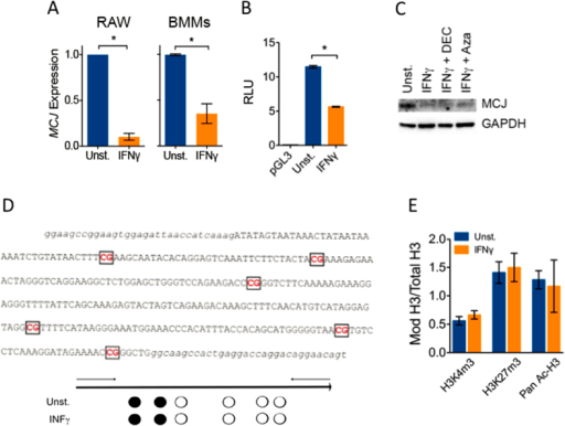 IFNγ represses MCJ gene expression independently of DNA methylation.(A) RAW cells and BMMs were stimulated for 20 h with IFNγ and analyzed by qRT-PCR for MCJ mRNA levels. The results correspond to the average of 3 independent experiments. *; Student´s t test, p < 0.05. (B) RAW cells were co-transfected with plasmids containing the luciferase gene under the influence of the 1 kb proximal promoter region of the MCJ gene or the Renilla luciferase gene under the influence of the SV40 promoter. After 4 h, the cells were stimulated with 100 ng/mL of IFNγ or left unstimulated. Dual luciferase activity was assessed after 16 h of incubation. The promoterless vector, pGL3 was used as a control. *; Student´s t test, p < 0.05. (C) BMMs were left unstimulated or stimulated with 100 ng/mL of IFNγ in the absence or presence of 1 μM of decitabine (DEC) or Azacitidine (Aza). After 48 h, the cells were tested by Western blotting for the presence of MCJ. GAPDH levels were determined to ensure equal loading. (D) CpG-rich region in the MCJ gene analyzed by bisulfite sequencing. The primers used for amplification are noted in lower case. The percentage of methylated CpG residues in BMMs stimulated with 100 ng/mL of IFNγ or left untreated is marked in each of the 6 CpG residues. Black circles indicate 100% of the samples contained these residues methylated, while white circles represent 0%. The analysis corresponds to BMMs isolated from 6 mice. (E) CHIP analysis of BMM DNA immunoprecipitated with antibodies against the H3 marks corresponding to trimethylation of Lys 4 (H3K4m3) and 27 (H3K27m3) or H3 pan-acetylation (Pan Ac-H3). The binding leves are relative to total H3. The results correspond to the average ± SE of 3 independent experiments.